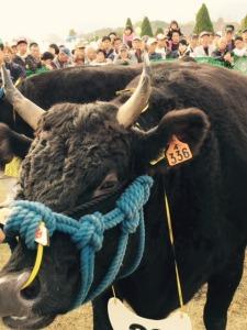競りの会場に入る松阪牛