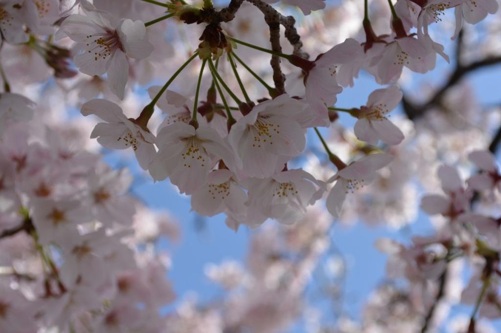 まるよし 2016年4月5日の桜