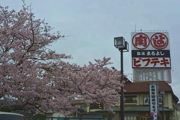 2017桜 まるよし