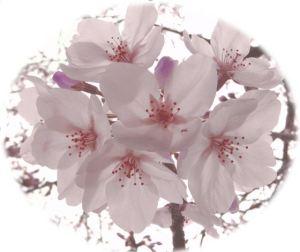 まるよし桜