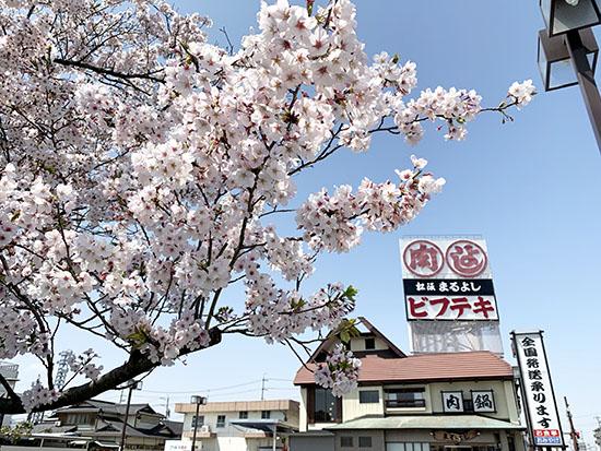 まるよしの 桜 満開です。