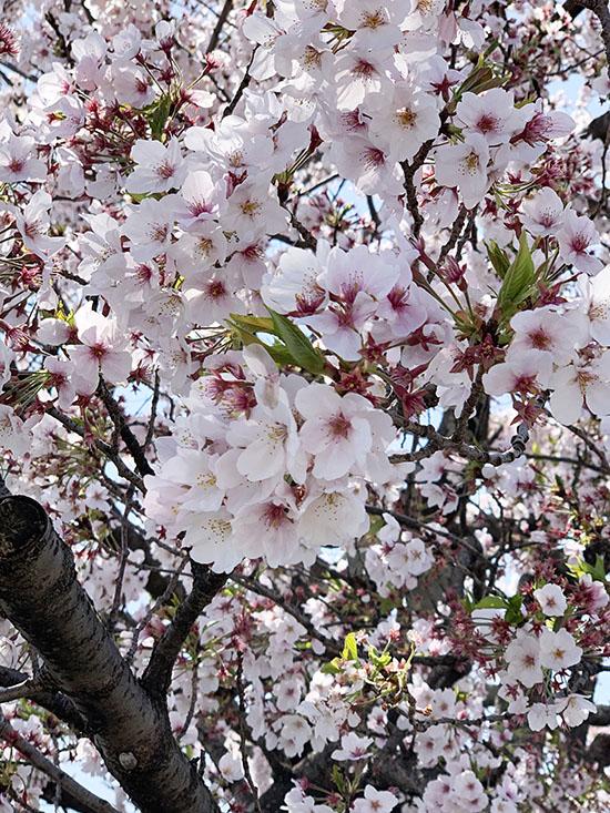 まるよし 桜 満開です。
